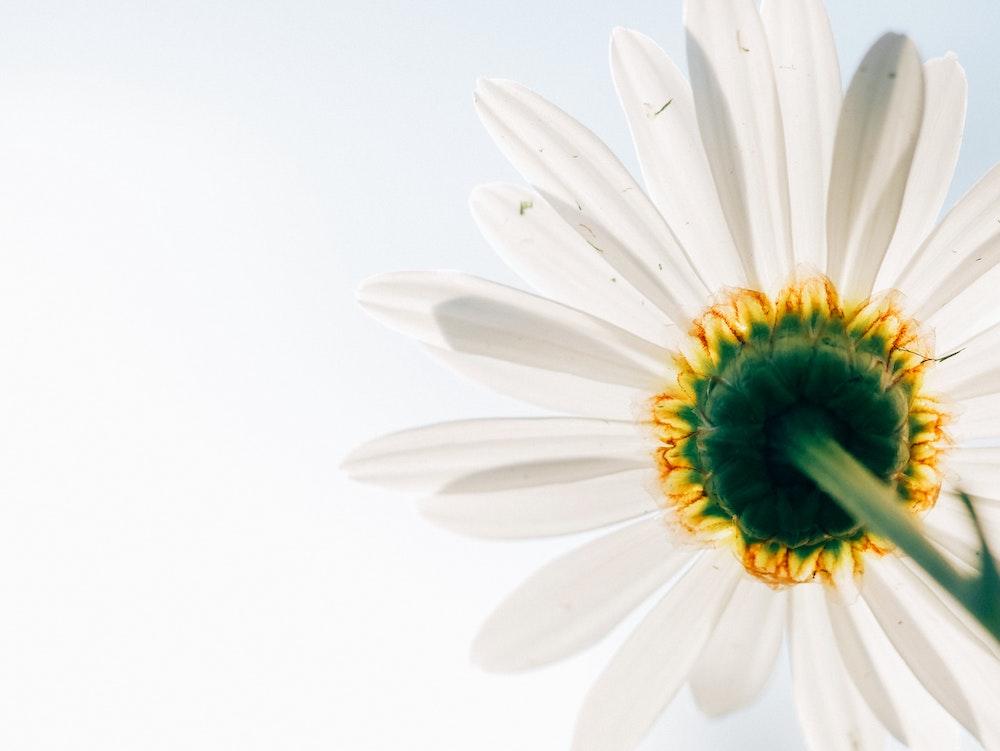 Petals in fibonacci sequence